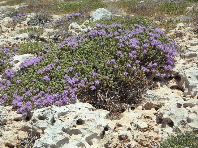 fialové skalničky